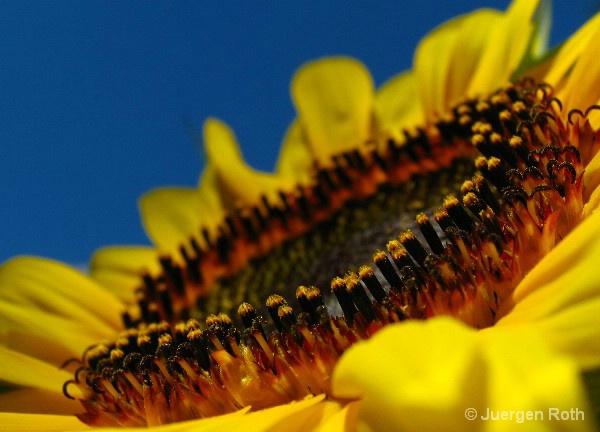 Sunflower VI - ID: 8720248 © Juergen Roth