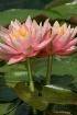 Twin waterlilies