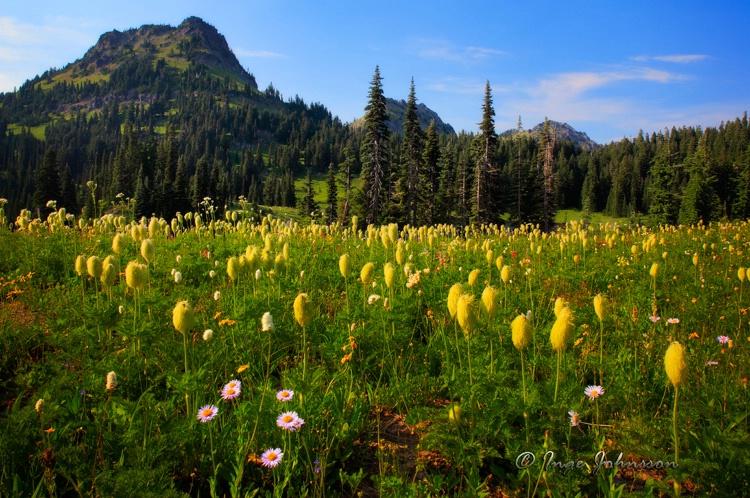 Mount Rainier Pasqueflowers