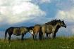 WILD HORSES ON HI...