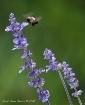 Purple Nectar
