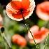 © Denise Bierley PhotoID # 8864085: poppies