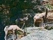 Mountain Sheep fa...