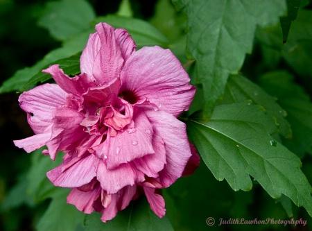 ~ Sharon's Rose ~