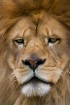 Lion Art 6