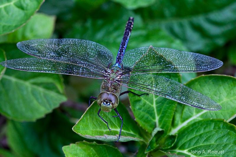 Dragonfly Common Green Darner - ID: 8899529 © John A. Roquet