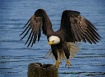 an eagle looking ...