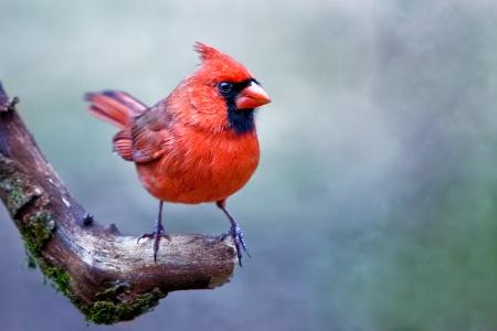 Poppa Cardinal
