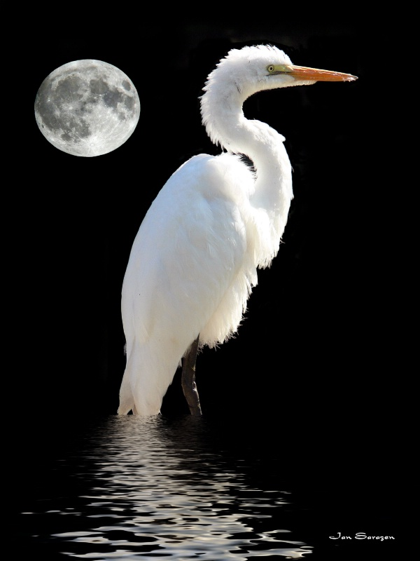 Wading By Moonlight