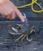 Feisty crab