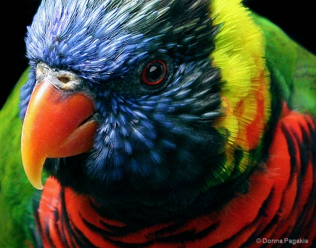 Colors of a Lorakeet