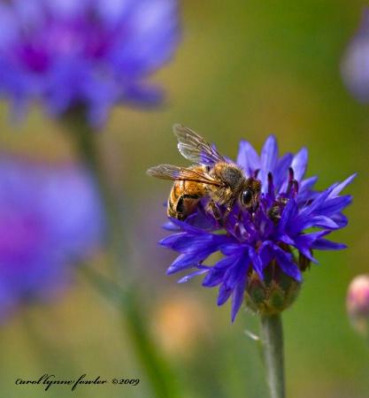 Bachelor Button Bee