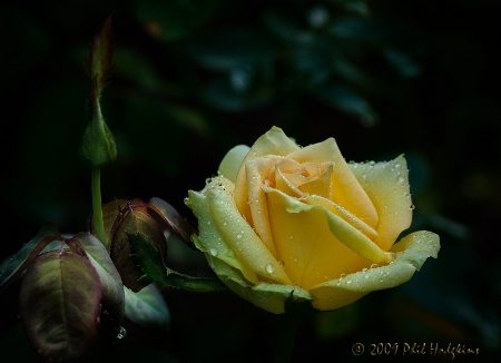 Rose, bud in tow