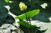 One Lotus
