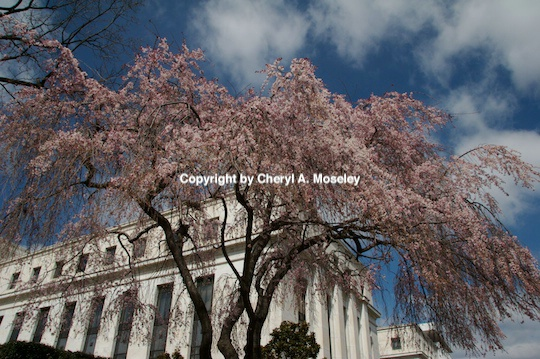 cherry blossom tree wash dc- m - ID: 9116807 © Cheryl  A. Moseley
