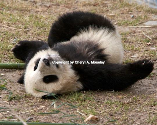 panda yogi- mg 9587  1  - ID: 9116861 © Cheryl  A. Moseley