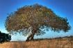 Oak On The Diablo...