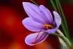 Saffron Crocus