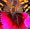 Painted Lady and ...