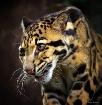 Painted Leopard (...