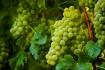 Sauvignon Blanc -...