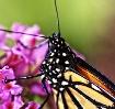 My last Monarch o...