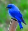 mountain blue bir...