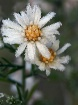 Frosted Wildflowe...