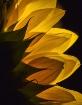 Sunflower Light