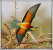 Bee eater swoop