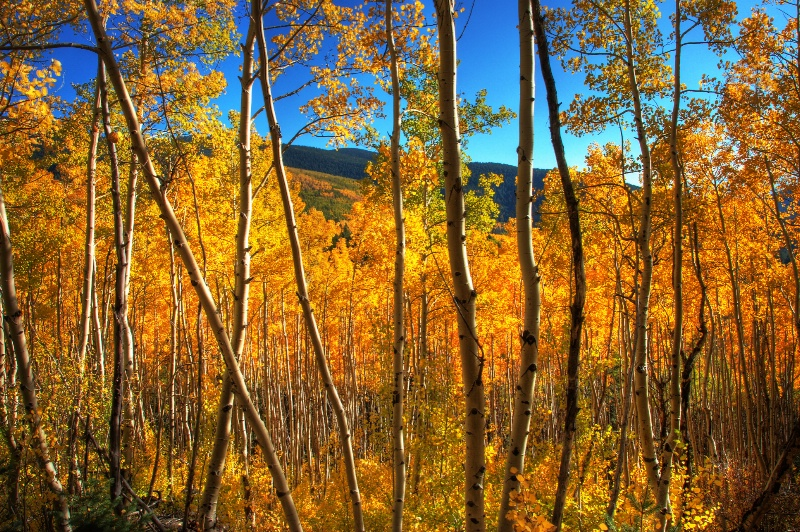 Fall In The Aspens