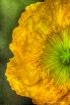 Yellow Krinkles