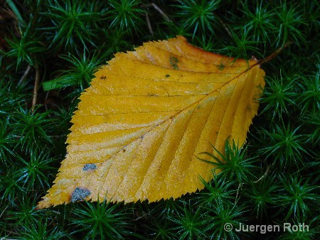 AA-047: Yellow Leaf - ID: 9293410 © Juergen Roth
