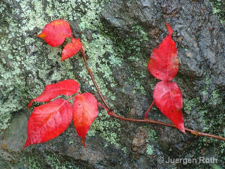 AA-048: Red Leaves - ID: 9293411 © Juergen Roth