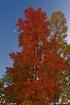 Red Tree at Dusk
