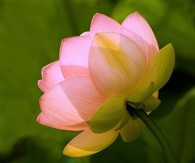 Lotus Bloom - ID: 9335724 © Joseph T. Pilonero