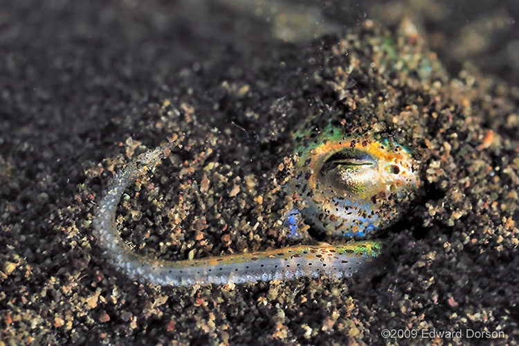Bobtail Squid_2 - ID: 9355327 © Edward Dorson