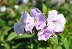 Lavender lovlies