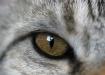 eye of the tabby