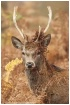 Red Deer in brack...