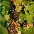 © Susie P. Carey PhotoID # 9393978: Grapes at Sunset
