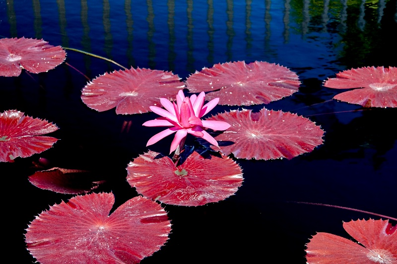 Purple Pads - ID: 9400560 © Steve Abbett