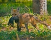 Fox with ground s...