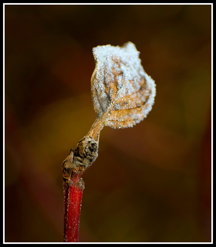 frosted leaf