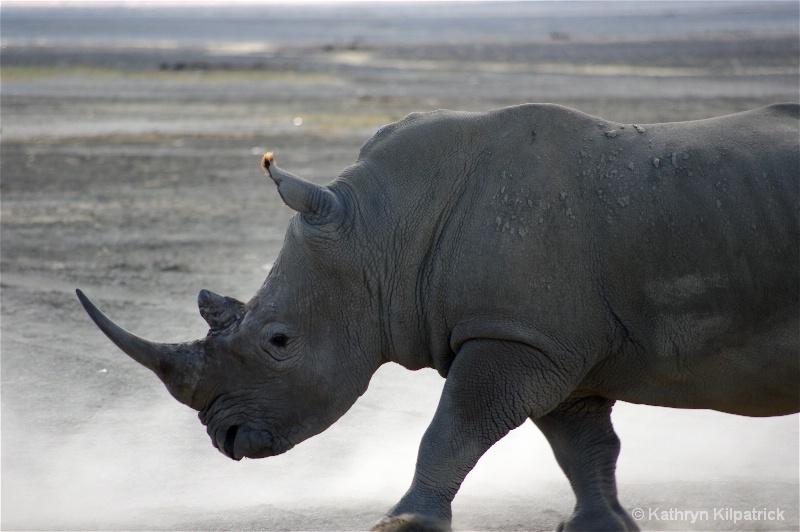 Rhino, Lk Nakuru - ID: 9510076 © Kathryn R. Kilpatrick