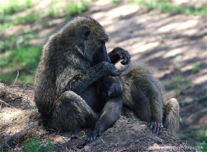 Baboon Coming Clean - ID: 9510079 © Kathryn R. Kilpatrick