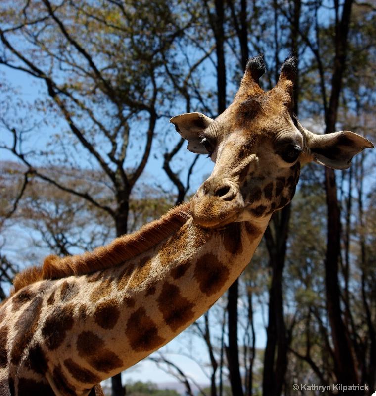 Rothschild Giraffe - ID: 9510119 © Kathryn R. Kilpatrick