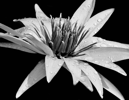Drenched Water Lily