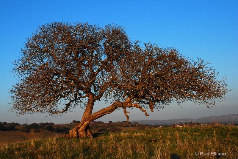 Lone Oak In December
