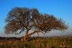 Lone Oak In Decem...